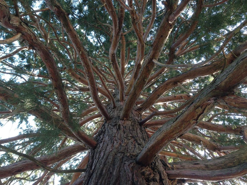 Bergmammutbaum in Payerbach