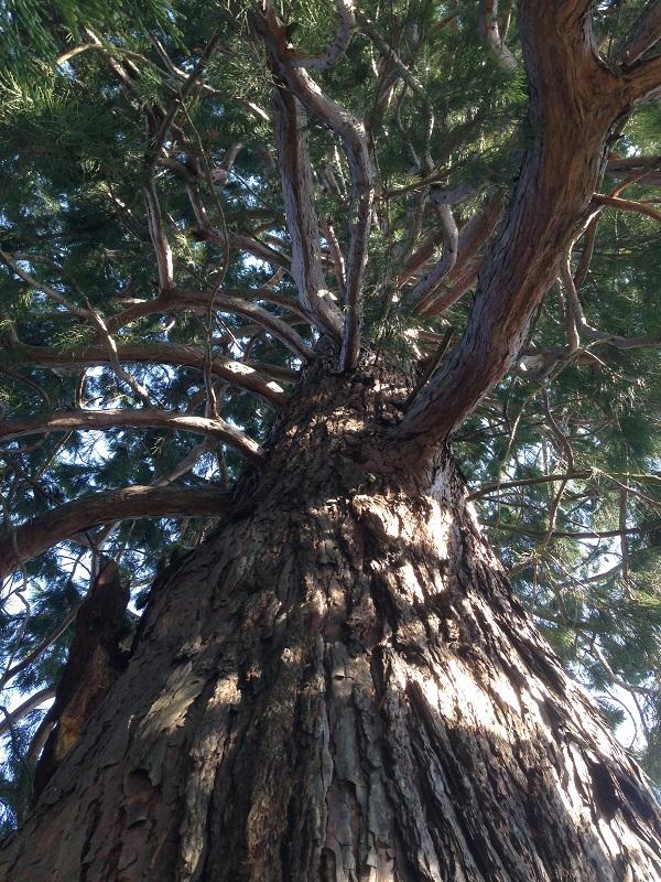 Sequoiadendron giganteum