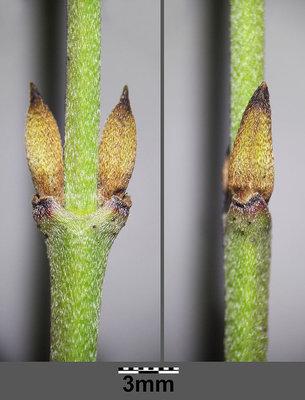 Bild zu Fortpflanzung, Knospe