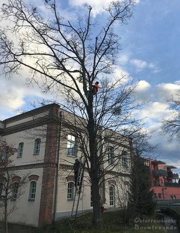 Baumpflegeaktion Mistelernte Ebreichsdorf