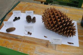Zapfen Pinus coulteri