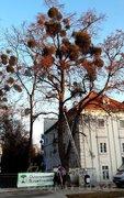 Baum vorher - mit Misteln