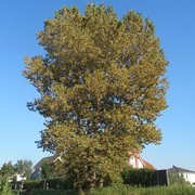 Populus x canadensis