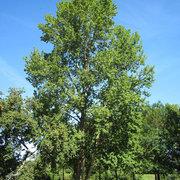 Populus x canescens